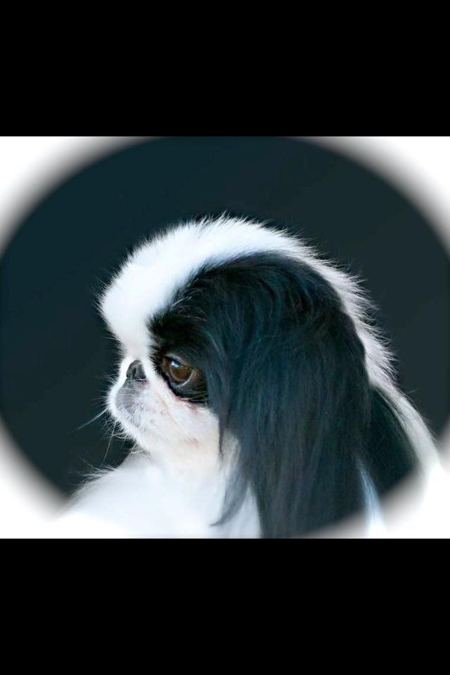 17 Best ideas about Japanese Chin on Pinterest   Ugly dog ... Japanese Chin Standard