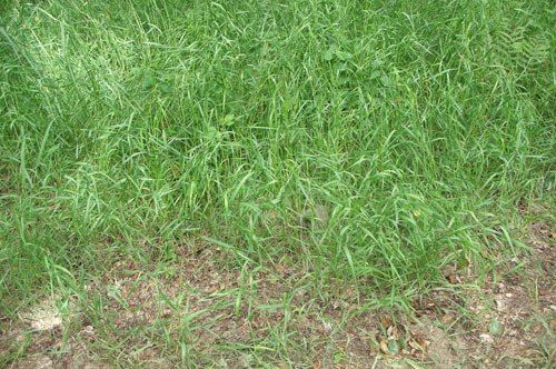 ПЫРЕЙ — СТО НЕДУГ ОДОЛЕЙ. Народные названия: корень-трава, собачья трава, червь-трава, житняк, собачий зуб, житец, понырь, ржанец, житвец, ортанец, дандур...