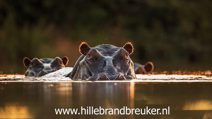 Nijlpaarden in een klein poeltje tijdens het laatste licht van de dag. Gefotografeerd tijdens een fotografie reis naar Zuid Afrika.