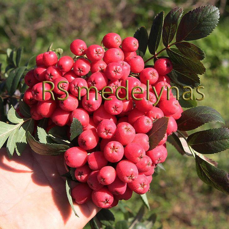Sorbus 'Alaja Krupnaja'. Bredväxande, vacker och frisk rönn.  Frukterna klart röda, stora och saftiga.  Höjd: 4-6 m.  Zon IV.