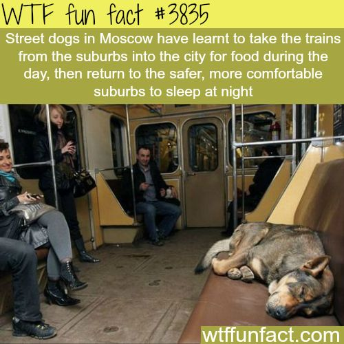 Moscow Street Dogs Take Train