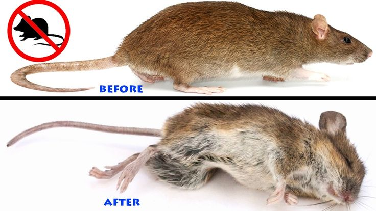 how to get rid of rats in house naturally