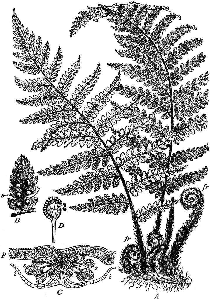 Картинка папоротника черно белая