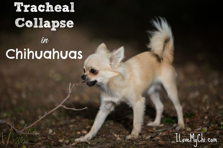 One of the biggest issues we hear from Chihuahua owners is wondering why their dog keeps coughing. Most likely it's reverse sneezing which is very common in Chihuahuas. It could also be Kennel Cough which is highly contagious. But it may be a more serious issue called Tracheal Collapse. This condition is common in many small dogs, including Chihuahuas. Causes of Tracheal Collapse Dogs with tracheal collapse have tracheas that are not shaped the way they should be. They flatten which causes…