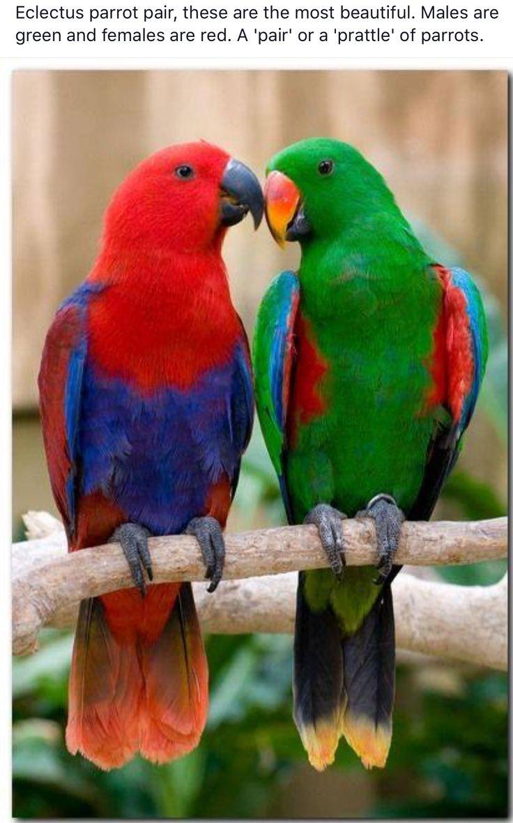 A pair of Eclectus parrots