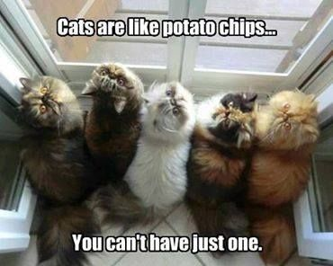 cb3c9ec49 Cats are like potato chips... You can't have just one.   KittyTips   Funny  cats, Cute cats, Kittens
