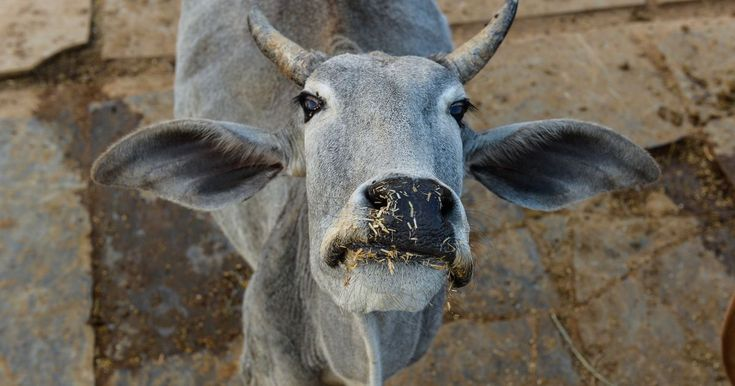 Over 99 percent of Indias population lives in areas governed by cow protection laws finds study   Slaughtering the animal is banned in 84% of the countrys states and Union Territories.  Chandan Khanna/AFP  On March 31 2017 the Gujarat state Assemblyamendedthe states cow protection laws to extend the maximum sentence for cow slaughter from seven years to a life term and a fine of up to Rs 5 lakh. The amendment made offences under the Gujarat Animal Preservation Act of 1954 which criminalises…