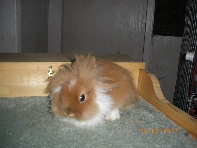 love the coloringLionhead Rabbit, Bunnies Rabbit