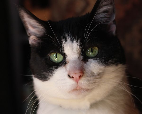 Tuxedo Kitty By Cathy Lindsey Bicolor Cat Green Eyed Cat Kitty