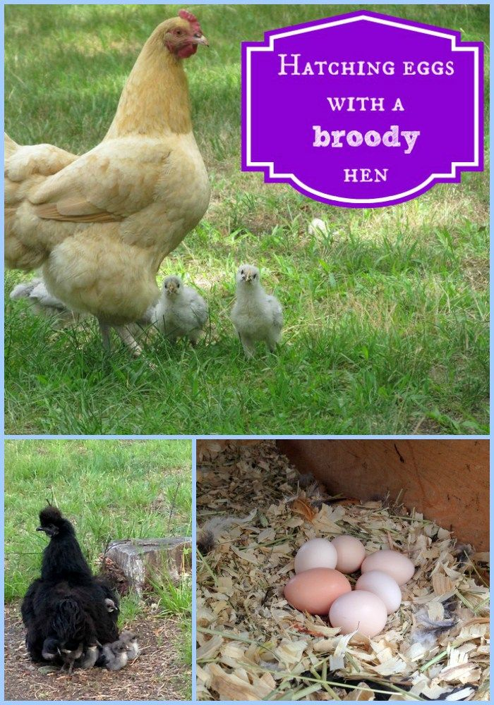 Hatching eggs using a broody hen is the easiest way to add to your flock