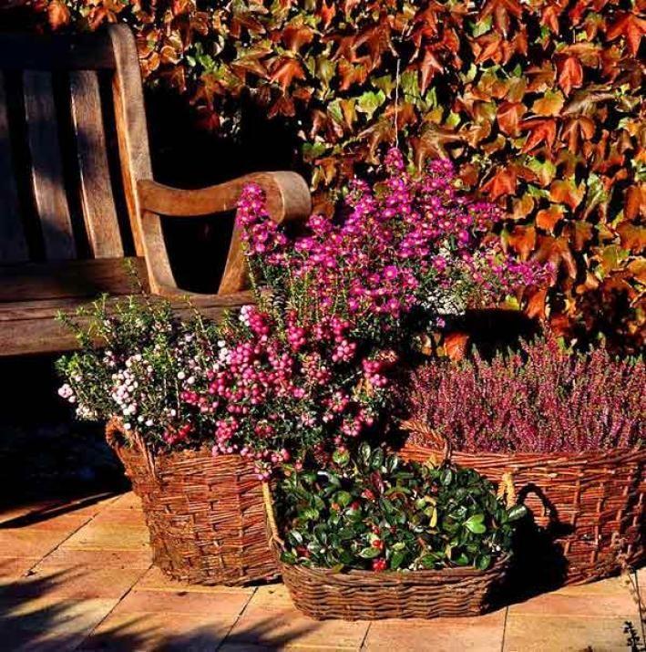 7 best ideas for gaultheria procumbens images on pinterest. Black Bedroom Furniture Sets. Home Design Ideas