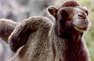 Kamelen en lama's