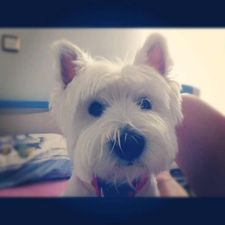 1000 images about westies on pinterest white terrier cairn terriers and preston - Imperial westies ...