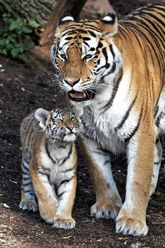 Sold today Amur Tiger (Panthera tigris altaica) | Stock Billede | Colourbox on Colourbox