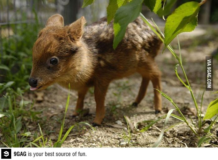 Pudu, world's smallest deer species