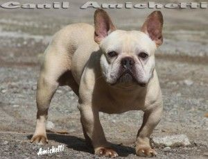 Toy+Bulldogs+Petclube+Bulldog+frances+French+Bulldog+Filhotes+Comprar+Bulldog