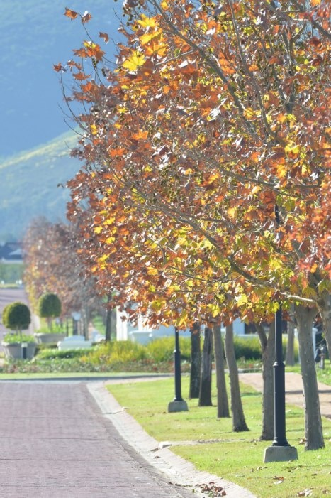 Val de Vie in autumn - the road leading into the estate from the main entrance.  Val de Vie consist of 567 erfs spread between the vineyard and open areas over an area of 1 771 384 sq. metres. #valdevie #erfs #plots