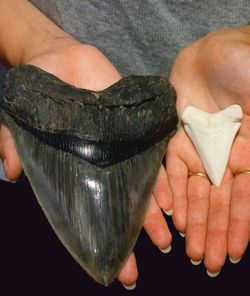 Shark teeth. The large one on the left is from a Megaladon, a shark that was as big around as a Greyhound bus. The white tooth on the right is from a Great White Shark!
