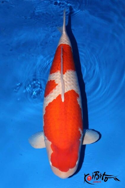 1000 images about koi n fish on pinterest black dragon for Champion koi fish