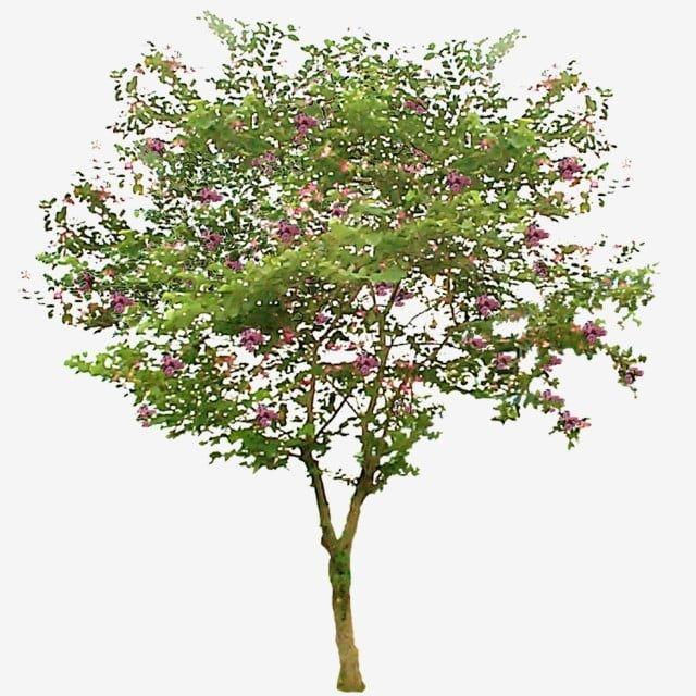 Bauhinia Purpurea Pohon Daun Kupu Kupu 2 Pohon Tanaman Pohon Pohon Indonesia Png Transparent Clipart Image And Psd File For Free Download Trees Top View Photo Frame Design Graphic Design Background Templates