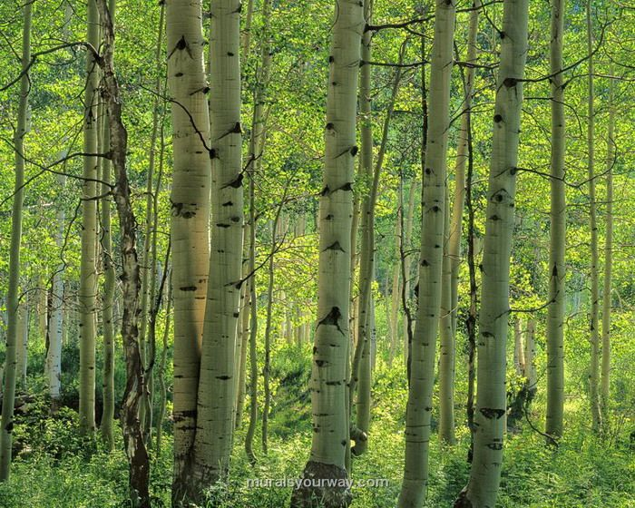 13 best images about birch trees on pinterest trees for Beautiful birch tree wall mural