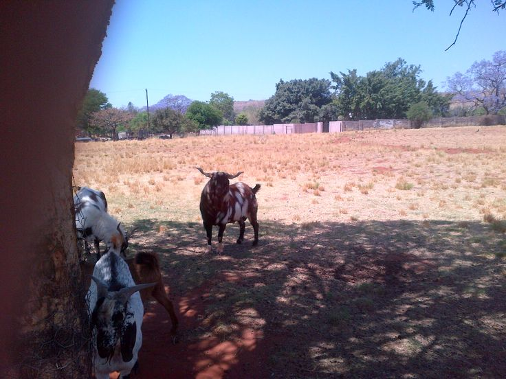 The Triplets Father, Stud Ram of Anthea Thys Cronje.