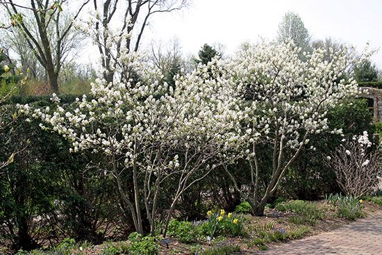 Amelanchier alnifolia 'Regent' (left) and A. ×grandiflora provide bright white spring color that results in edible fruit.