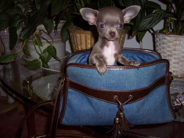 Teacup Chihuahua Puppies For Akc