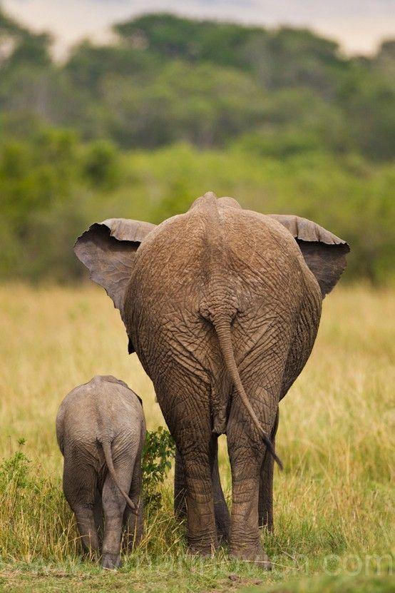 Elephant big ass