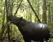In this undated photo released by Leuser International Foundation, a Sumatran rhino roams at Gunung Leuser National Park in Aceh province, Indonesia. A conservationist from the foundation said Thursda