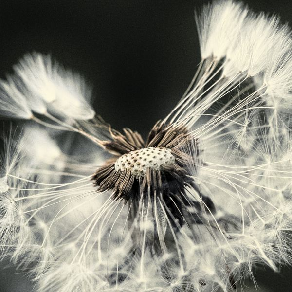 Taraxacum Seed Head by Chaotic Atmospheres