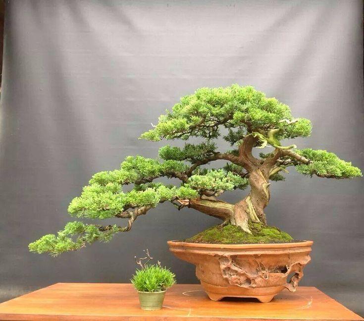3713 besten bonsai bilder auf pinterest bonsai g rtnern for Bonsai pflanzen