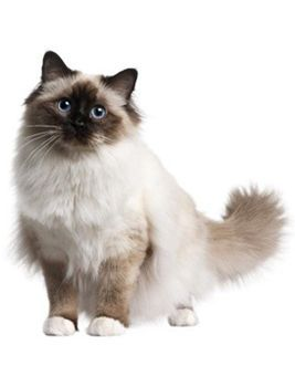 Birman Cat - the best breed (when he's not acting like Cujo anyway....)