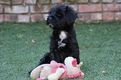 Elevage of Wamil Ajendra - eleveur de chiens Terrier tibétain--A lamleh puppy at 10 weeks in garden at Croix Wasquel, France.