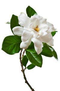 Meaning of Gardenia Flowers