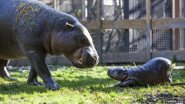 Olivia is a new-born hippopotamus in Parken Zoo, Sweden