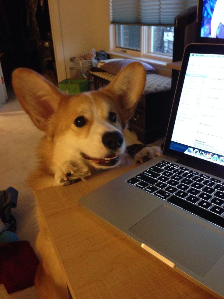 Oscar the corgi wants a treat!