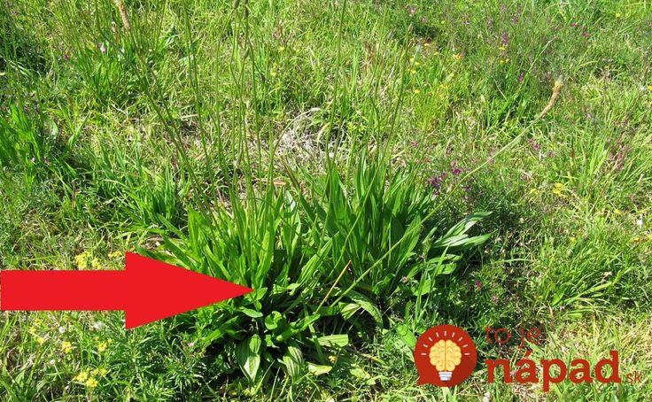 Rastie nám priamo pod nosom: TOTO nie je burina, ale jedna z najliečivejších rastlín!