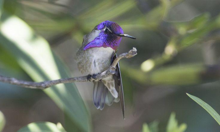 Costa's Hummingbird - | Birds of North America Online