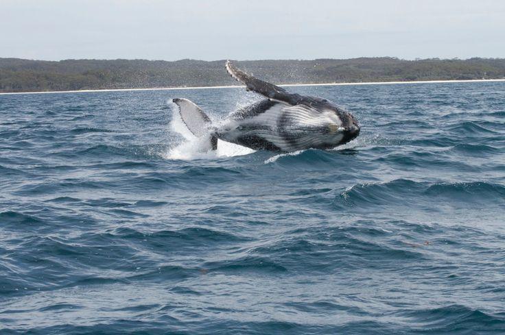 Whale watching, Jervis Bay, NSW Australia   Copyright of Jo Thom