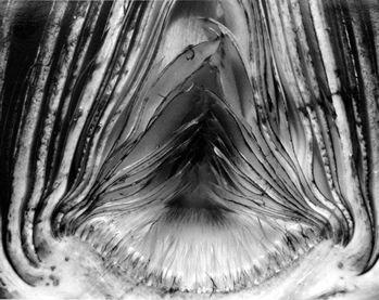 Artichoke, 1930 (28V), Edward Weston