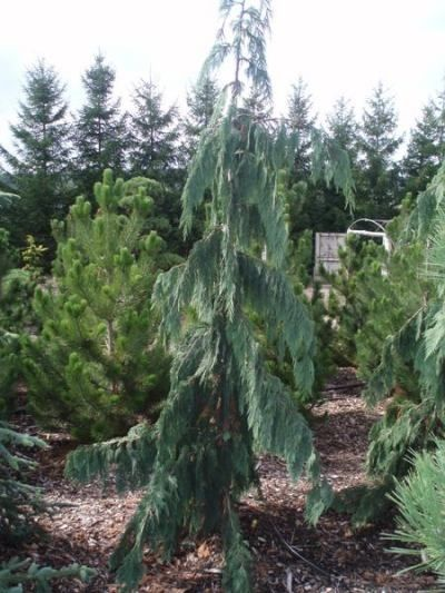70 best weeping evergreen trees images on pinterest for Best dwarf trees for landscaping