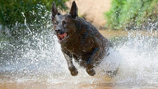 All Dog Breeds Complete List Of Dog Profiles In 2020 Dutch Shepherd Dog Shepherd Dog Breeds Dog Breeds