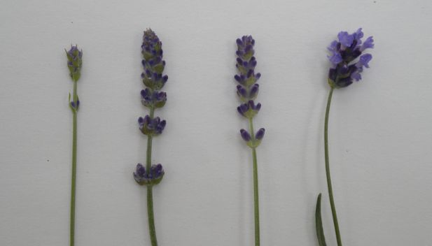 good advice for when to harvest lavender flowers for various uses