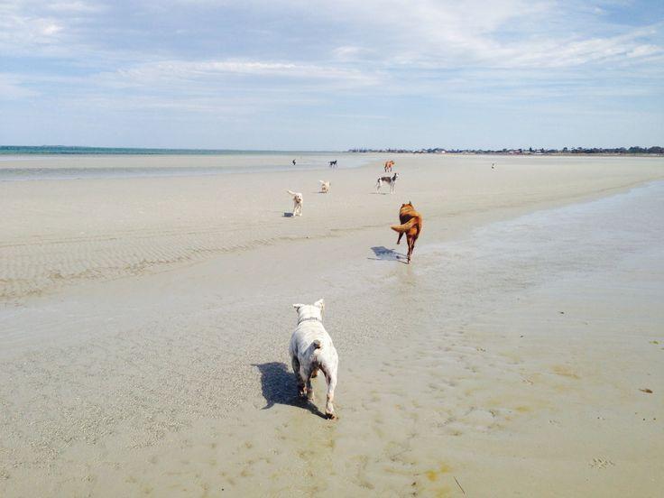 Altona Dog Beach with several dogs