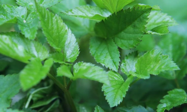 Hoezo onkruid? Gewoon opeten dat zevenblad! Gebruik de jonge blaadjes in de sla of maak er pesto van met dit recept: http://www.slowfoodies.nl/gezond/pesto-van-zevenblad/