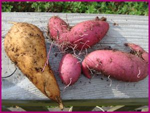 How to save your ornamental sweet potatoes for next year