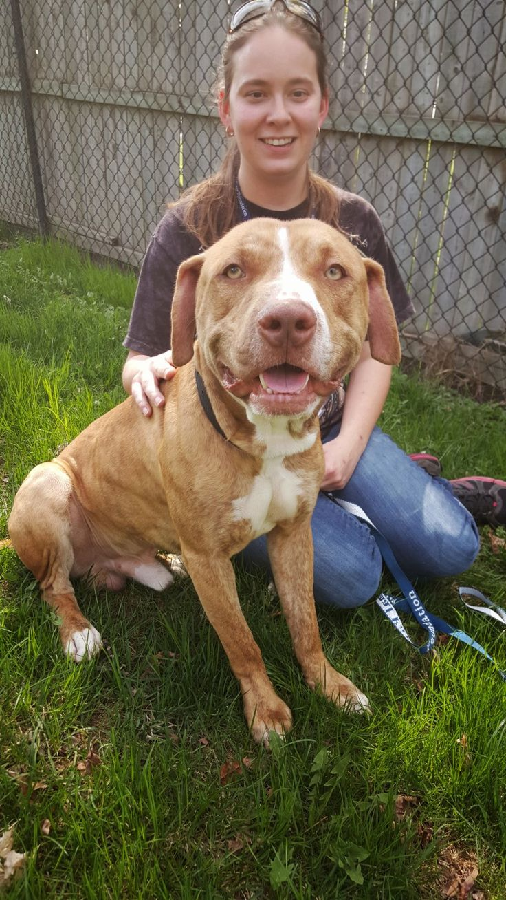 """ARE YOU FAMILIAR WITH BREED BANS?! : Sweet, lovable Leo, shown here, lives in a county that still has an archaic breed ban in place. Dogs, all of varying appearances, behaviors, and breed mixes, who are perceived to be """"pit bull"""" dogs are actually illegal in Prince George's County, MD. Learn More: https://animalfarmfoundation.wordpress.com/2015/05/13/prince-georges-county/"""