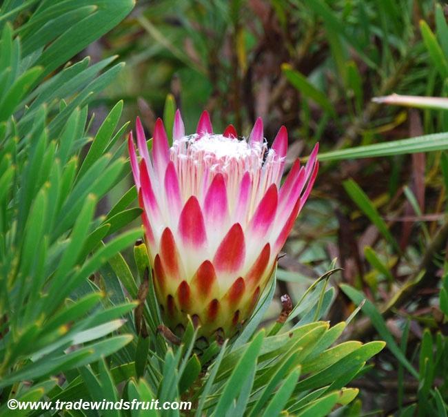 Sugar Bush Protea  Protea repens  a.k.a. Honey Flower (grown from seeds)