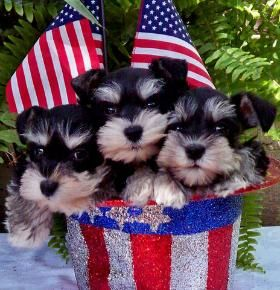 Texas Ts Toy Schnauzers Current Available Pups and Future Litters